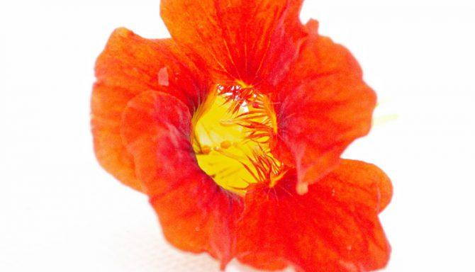Fleurs-&-Feuilles-gourmandes-Capucines